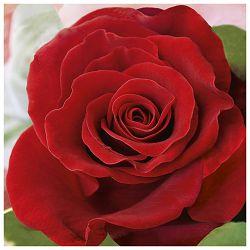 Salvete troslojni 33x33cm pk20 Red Rose Herlitz 11309085